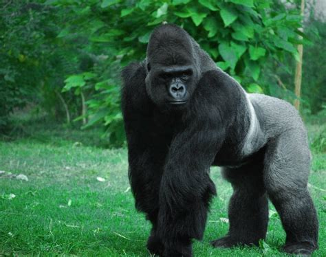silverback gorilla animals silverback gorilla