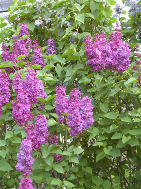 flowering deciduous shrubs redwood barn nursery deciduous flowering shrubs