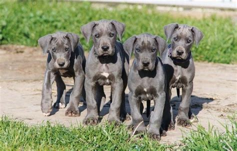 how much are great dane puppies great danes the breed guide the happy pooch