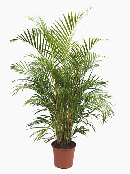 indoor plants uk chrysalidocarpus lutescens areca palm for sale online
