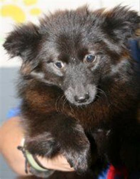 pomeranian schipperke 1000 images about dogs on pets pomeranian mix and border collies