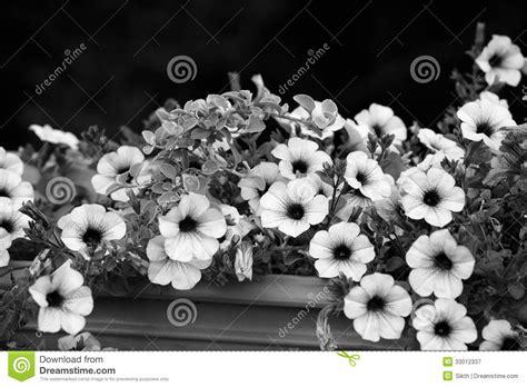 foto fiori bianco e nero fiori in bianco e nero della petunia immagine stock