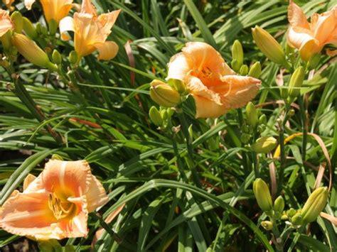 Taglilien Teilen by Taglilien Pflanzen Und Pflegen Mein Sch 246 Ner Garten