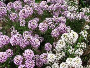how to care for alyssum garden guides