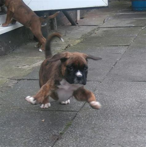 8 week boxer puppy brindle boxer puppies 8 weeks centurion ads dogs puppies