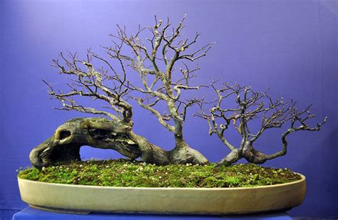 here s a thought bonsai restyling a mugo offing a shari bonsai tourists more bonsai rafting some excellent events