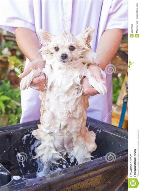 how to bathe a pomeranian at home bath time for white pomeranian shower stock photo image