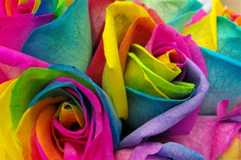 rainbow colored roses make your own real rainbow roses