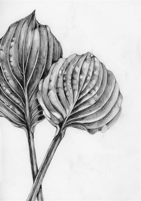 botanical drawing using graphite 1785001590 52 best graphite botanical illustration images on pencil drawings graphite drawings
