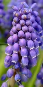 gallery grape hyacinth flowers