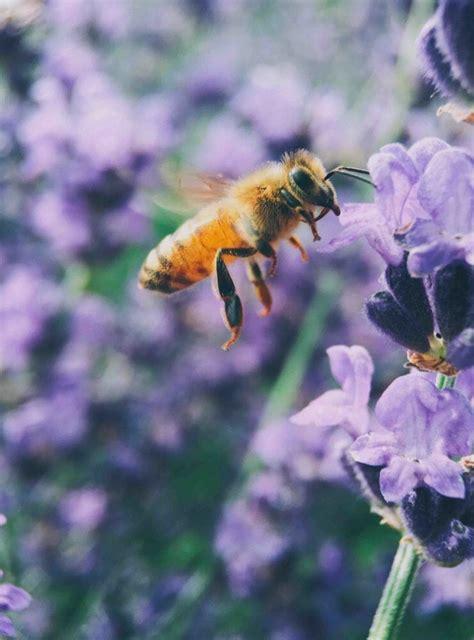 Abelhas são declaradas os seres vivos mais importantes do
