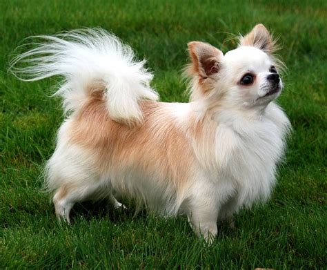 pictures of long haired chihuahua haircuts long hair chihuahua cuddly friends pinterest
