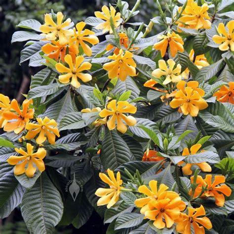 Gardenia Outdoor Gardenia Carinata At Hawaii Tropical Botanical Garden