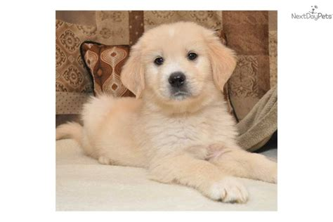 golden pyrenees puppies golden pyrenees puppies for sale breeds picture