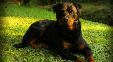 rottweiler skin problems improve your rottweiler s skin coat with this one simple hack iheartdogs