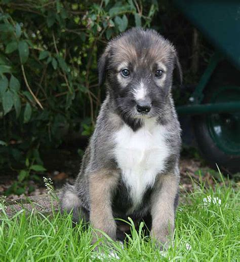 wolfhound puppy wolfhound info temperament puppies pictures lifespan