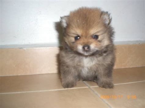 craigslist pomeranian puppies pet sale at malaysia breeds picture