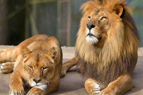 imagenes de leones al oleo una pareja de leones 70396