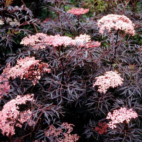 schwarzer holunder black lace sambucus black lace clarenbridge garden centre