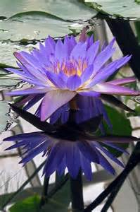 Blue Lotus Flower Meaning 1000 Ideas About Blue Lotus On Lotus Lotus