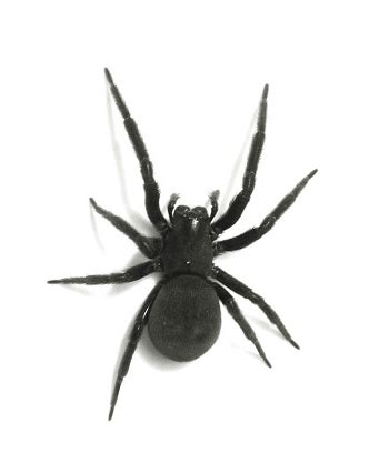 black house spider spiders of the united states total survival