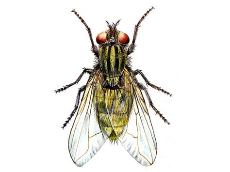 lesser house fly pest control cambridgeshire cockroach flea wasp wisbech march pest services