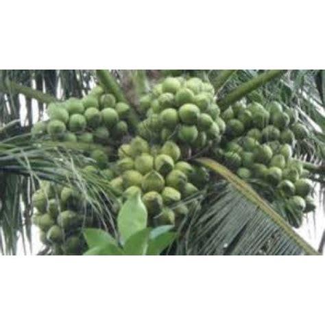 Jual Bibit Kelapa Kopyor jual bibit kelapa kopyor hp 0856 0856 6034