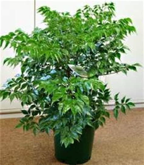 china doll house plant china doll house plants for you