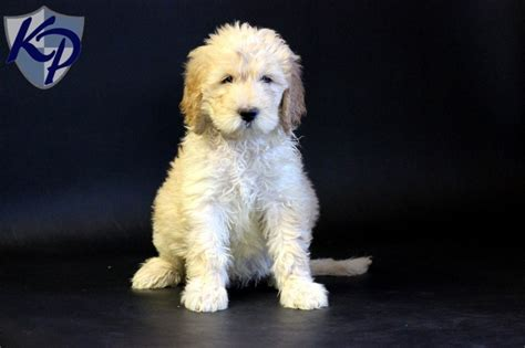 southern comfort doodles goldendoodle dog rescue in pa dog breeds picture