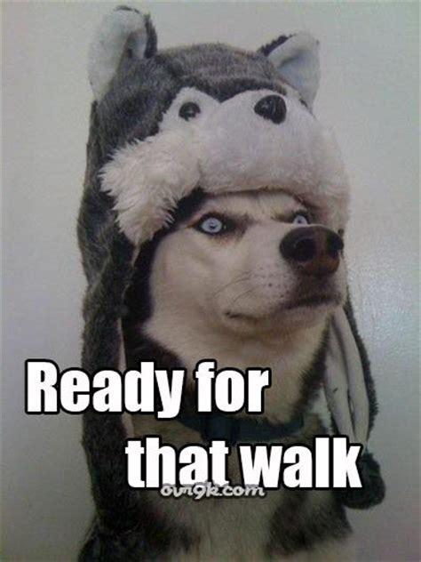 Huskie Meme - husky memes gotta love a siberian husky pinterest