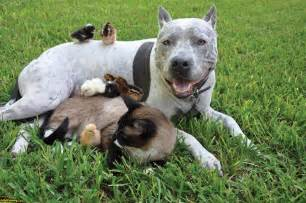 funniest american pitbull terrier new photos funny and