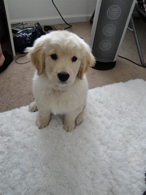 how to find a golden retriever puppy file golden retriever puppy 2010 jpg wikimedia commons