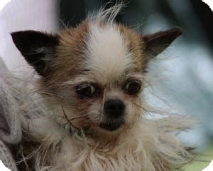 what does a shih tzu chihuahua look like what does a yorkie shih tzu look like breeds picture