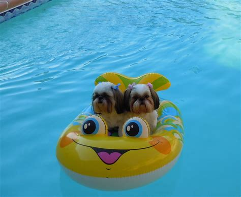 shih tzu swimming shih tzu images river and chiquita on their boat hd wallpaper and background photos