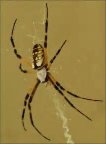 Garden Spider Fangs Black Orange Legs White Top Fangs Argiope