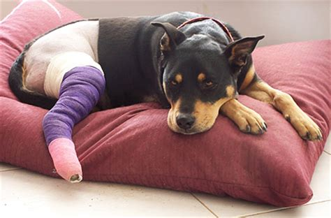 hurt dogs how to treat in dogs and cats