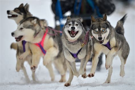 can dogs die from related keywords suggestions for iditarod dogs die