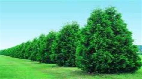 thuja green trees for sale wholesale at tn nurseries - Trees For Sale Wholesale