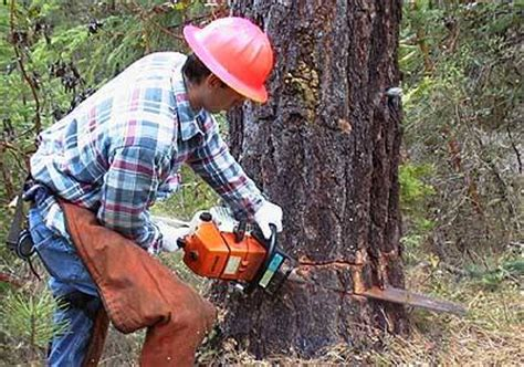 cutting a tree down in sections check before you cut massachusetts illegal tree cutting