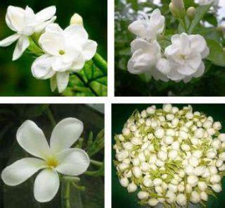 cari harga bunga melati klik informasi lengkap juli