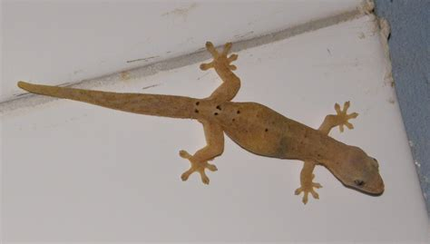 common house gecko common house gecko project noah