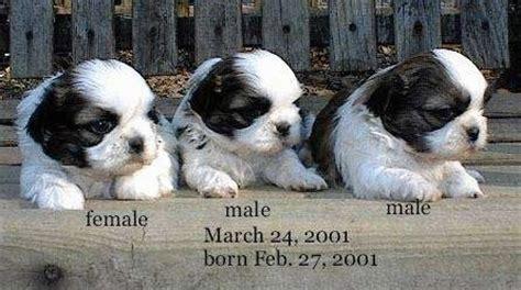 4 month shih tzu behavior shih tzu breed pictures 1