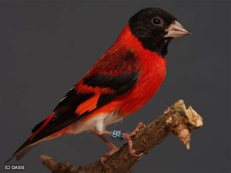red siskin spinus cucullata birds fringillidae