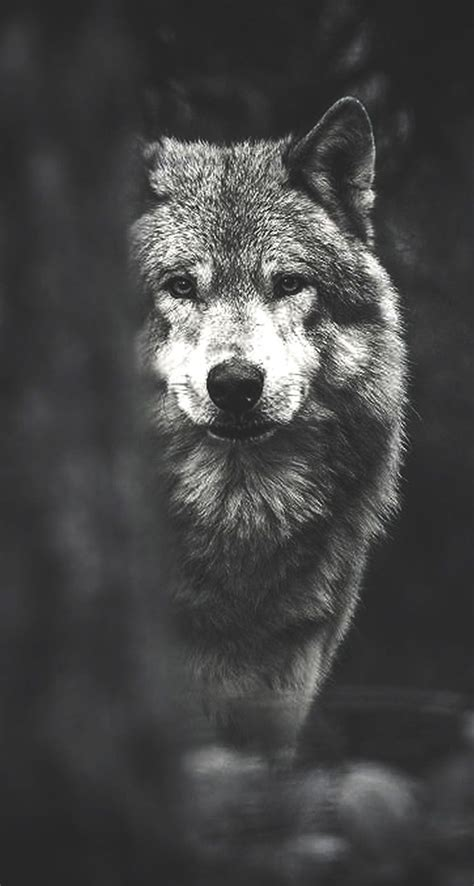 Wolf Wallpaper Pinterest | best wolf wallpaper ideas on pinterest how to draw dogs