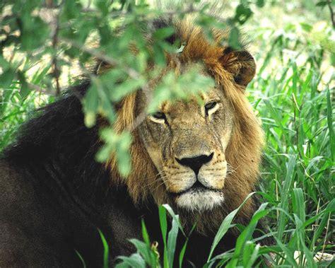 imagenes de leones gratis nuevas fotos hd de leones fondos de escritorio gratis