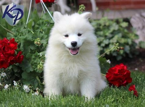 samoyed puppies for sale in pa the 25 best samoyed puppies for sale ideas on samoyed puppies samoyed