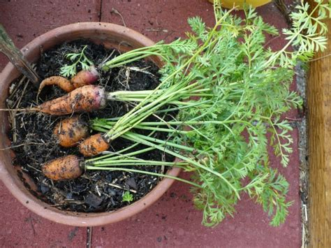 carrot container garden 6 steps for growing carrots in the containers