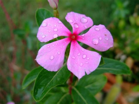 the flower year a periwinkle is a perpetual flower that can bloom throughout the year charismatic planet