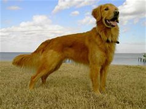 overweight golden retriever overweight dogs