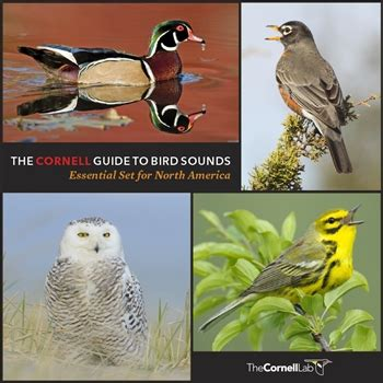cornell guide to bird sounds essential set usb flash drive
